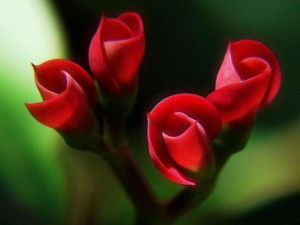 Nature_Flowers_Red_buds_027677_29